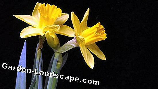 Daffodils: The right time to plant the spring messengers