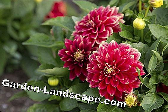 Dahlias: The best care tips