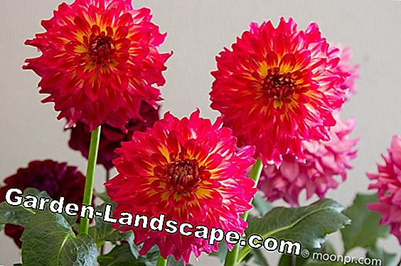 Dahlias - plants, care instructions and wintering