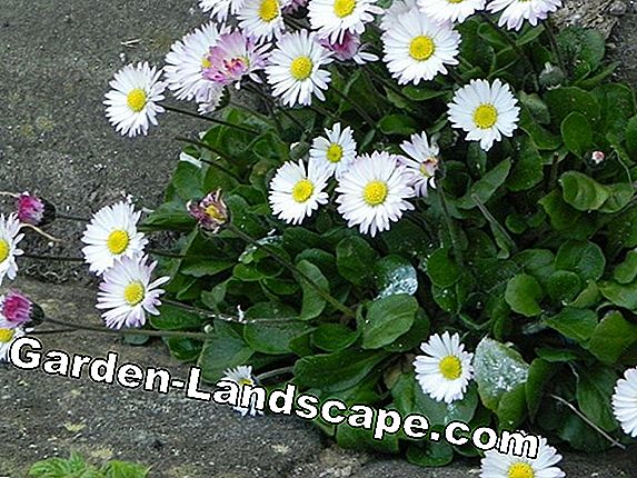 Daisies (Bellis) - Care of the plant