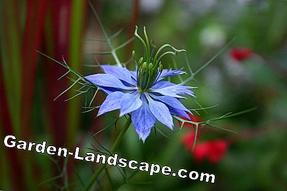 Virgin in nature, Nigella damascena - plants and care