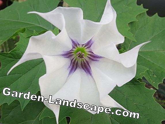 Datura, Datura - care and use