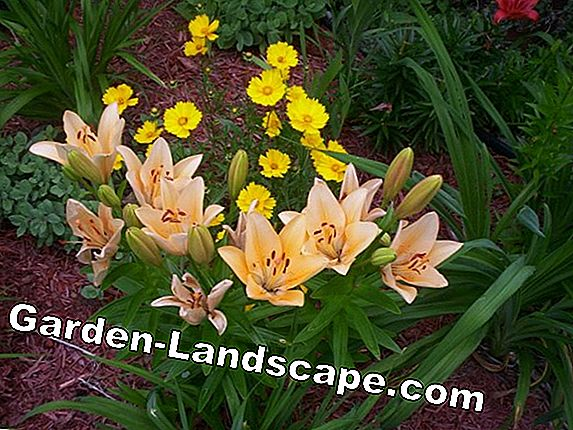 Multiply daylilies by sharing