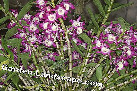 Dendrobium Nobile Orchid: Care of A-Z
