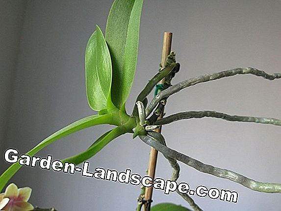 Dendrobium Orchids - cutting and propagating through offshoots