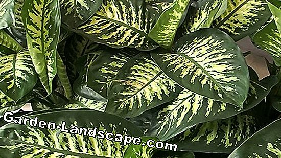 Dieffenbachie, Dieffenbachia - plants, care and propagation