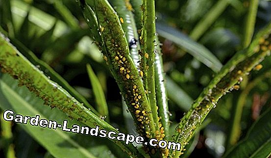 Diseases and pests of oleander