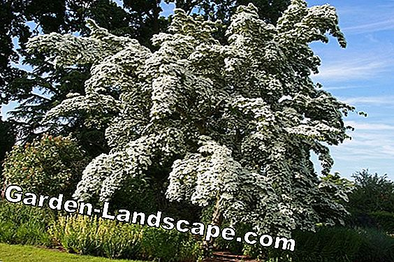 Dogwood - Planting, care, propagation and cutting