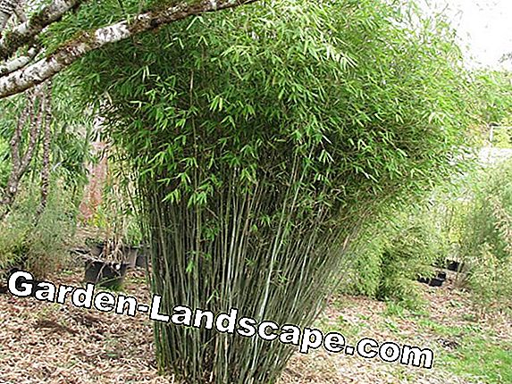 Dwarf Bamboo - Care, Cutting & Varieties
