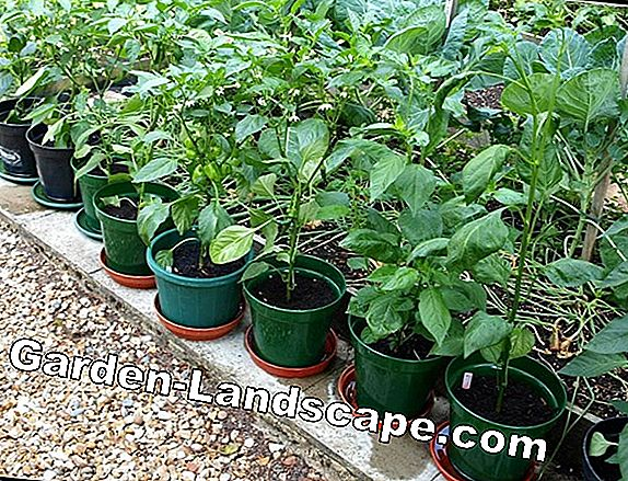 Dwarf pepper - plants and care