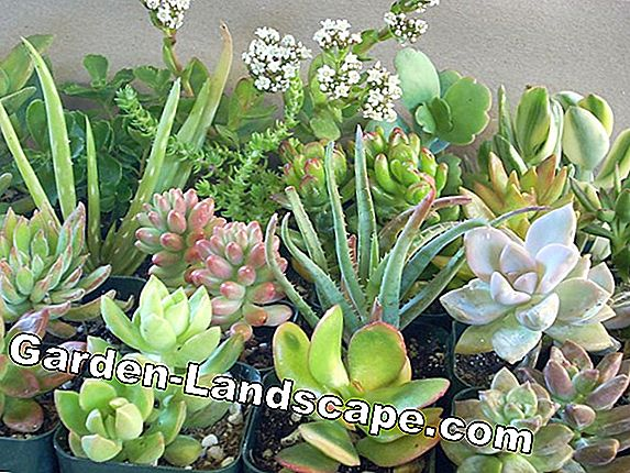 Easy-care balcony plants and potted plants
