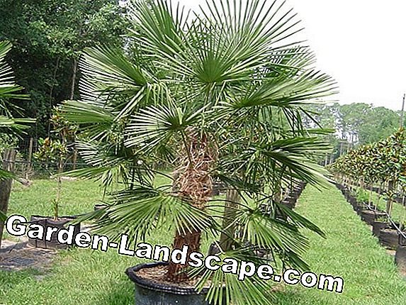 Easy-care palm species for home - indoor plants