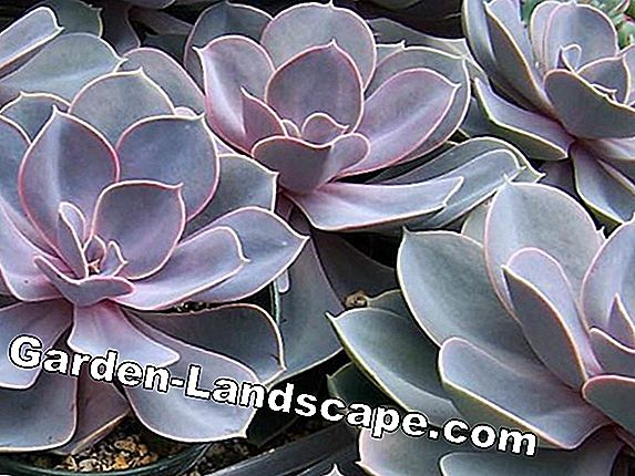 Echeveria: species and care (elegans, gibbiflora, pulvinata, setosa, runyonii)
