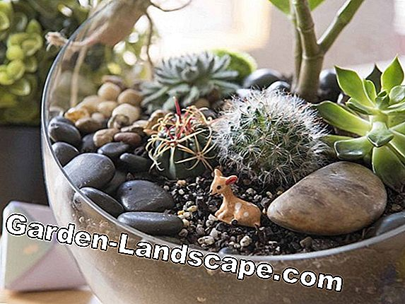Planting echeveria - tips and instructions for the succulents