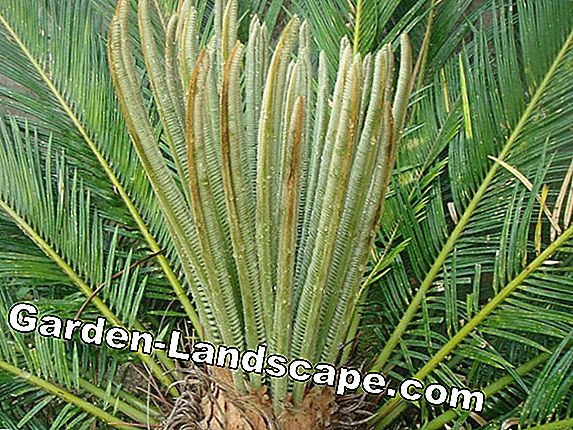 Elephant foot, bottle tree, water palm - care & cutting