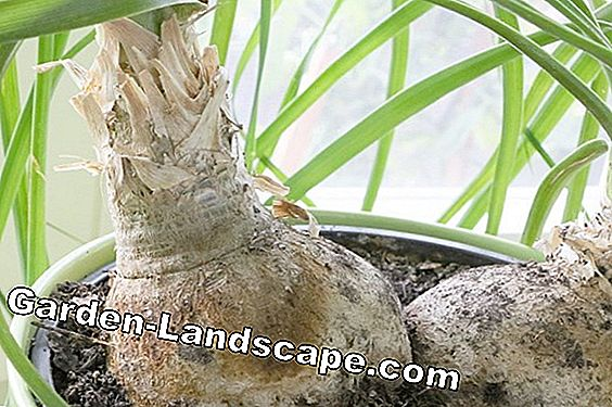 Elephant foot, Beaucarnea recurvata - repotting, diseases and pests