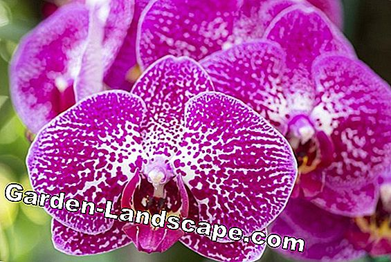 Epidendrum Orchids - Plant and Care Instructions