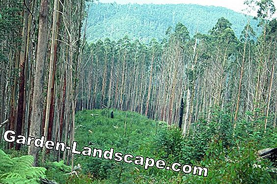 Eucalyptus tree, Eucalyptus regnans - plants, care & cutting