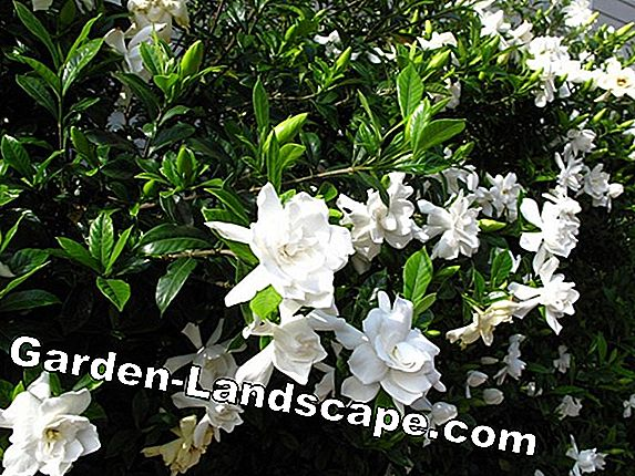 Evergreen garden shrubs - 23 blooming and hardy species
