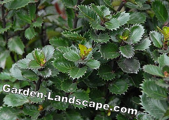 Evergreen, hardy and fast growing shrubs