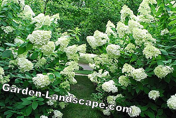 Evergreen snowball - varieties, care and cutting