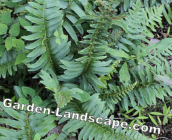 Fertilize ferns properly - Tips for ferns and ferns in the garden