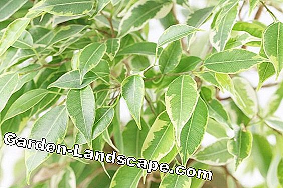 Bark Fig - Care of Ficus Benjamina