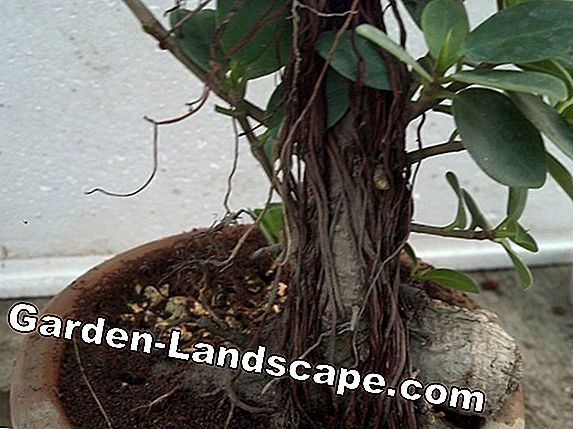 Ficus Ginseng microcarpa - care guide of laurel fig
