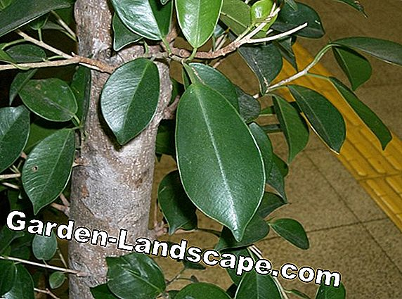 Ficus rubiginosa - care and propagation