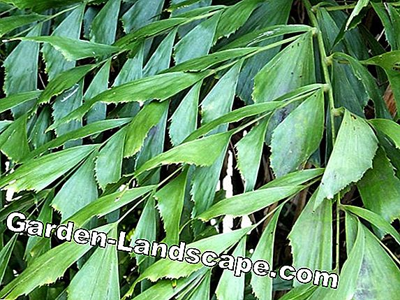 Fishtail Palm, Caryota mitis - Care Instructions