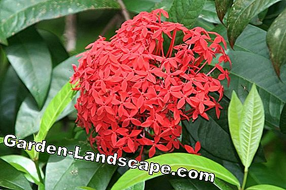 Plant Flame Tree - the right approach for the Flamboyant