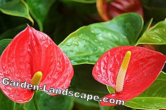 Flamingo flower, anthurium