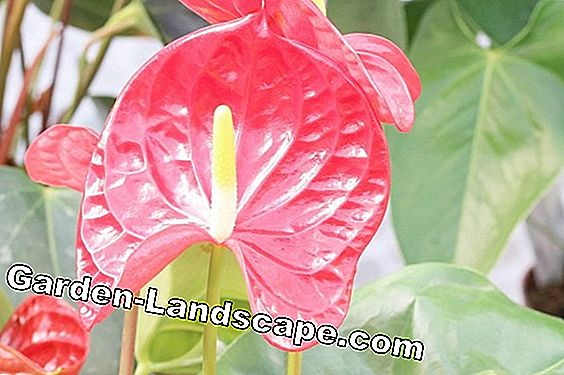 Flamingo flower - care of the anthurium