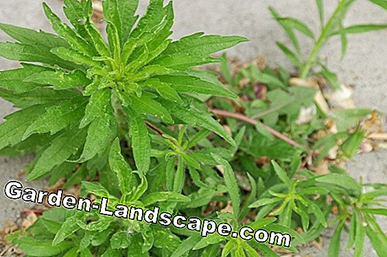 Horseweed, fine spray