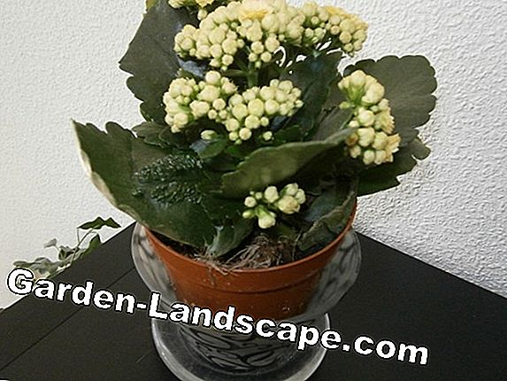 Plants: Flowering houseplants - easy-care long-term blooms from A-Z on house plants with yellow and green leaves, house plants that bloom, house plant green and white, house plants with pink, house plants that flower, house plants with lily, peace lily with pink blooms, house plants with variegated leaves, house with flowers, house plant which blooms flowers, house plants with red, water plants with white blooms,