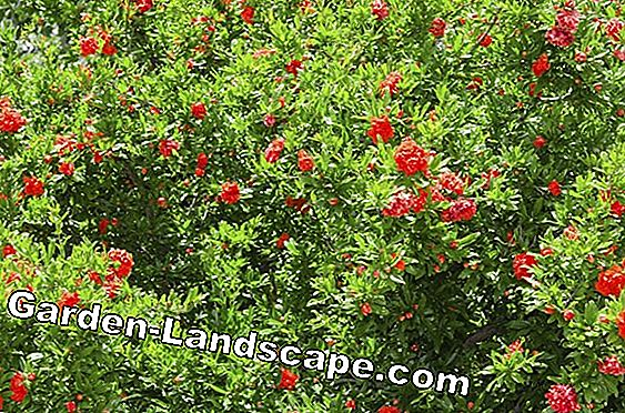 Flowering shrubs - care and cutting
