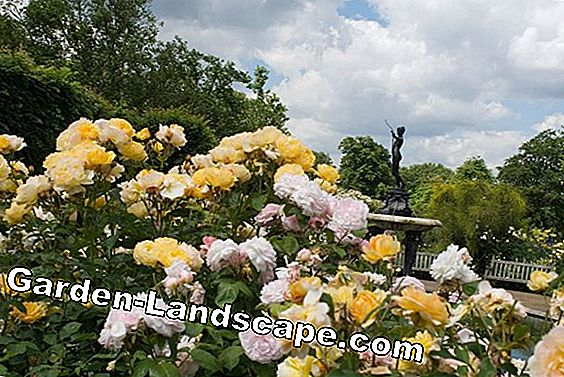 Flower-rich garden roses in the rose garden