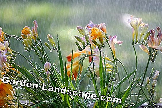 Freesia, Freesia - planting, care and wintering