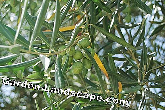 Fruits on the olive tree - when are the olives ripe for harvest?