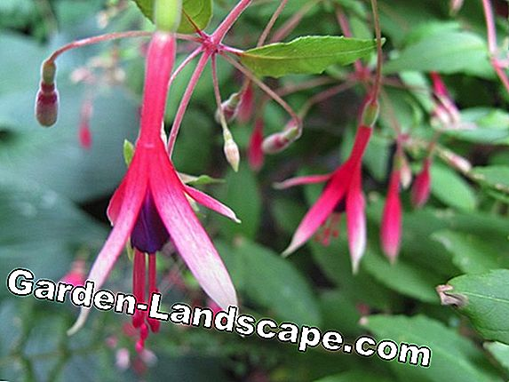 Fuchsia - care and wintering
