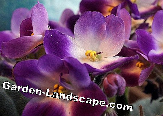 Garden violets, violets - care in the garden