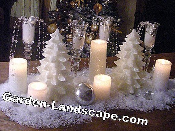 Glittering candle, prairie candle - care, cutting and wintering
