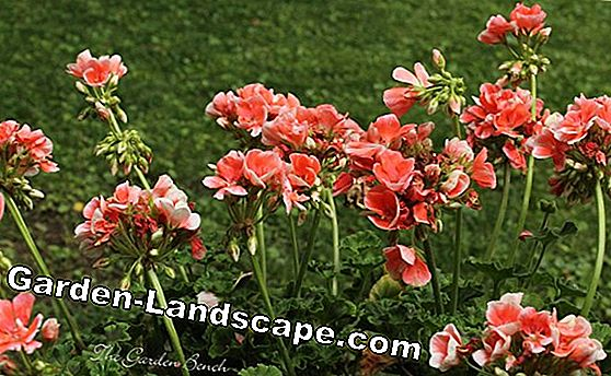 Geraniums - plants, care and propagation