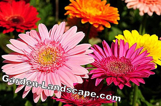 Gerbera - plants, care and wintering