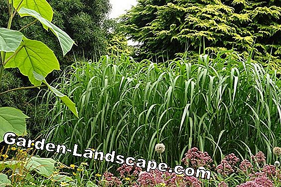 Giant miscanthus, Miscanthus x giganteus - care and cut