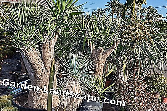Giant palm-tree, Yucca elephantipes - care