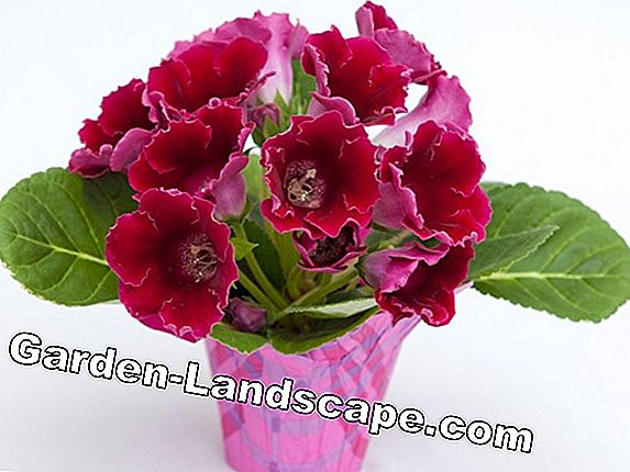 Gloxinia Hibernate - Tips for Indoor Plants and Outdoor Cultivation