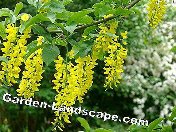 Laburnum - care and cutting