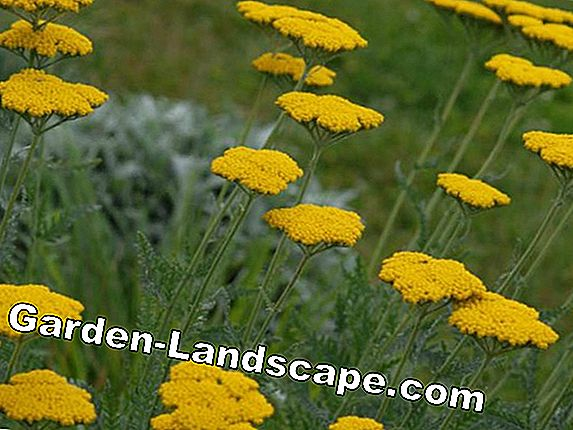 Goldsheaf, Achillea filipendulina - Care of Yellow Yarrow