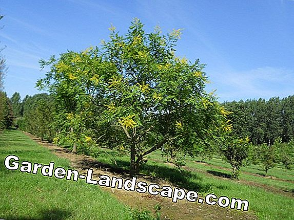 Bladder Tree, Koelreuteria paniculata - care and cutting